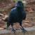 "Alicia Loh, ""Crow Demon"""