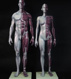 Anatomical Study